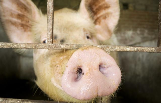 A smallholders pig in Chưng Mỹ, Vietnam