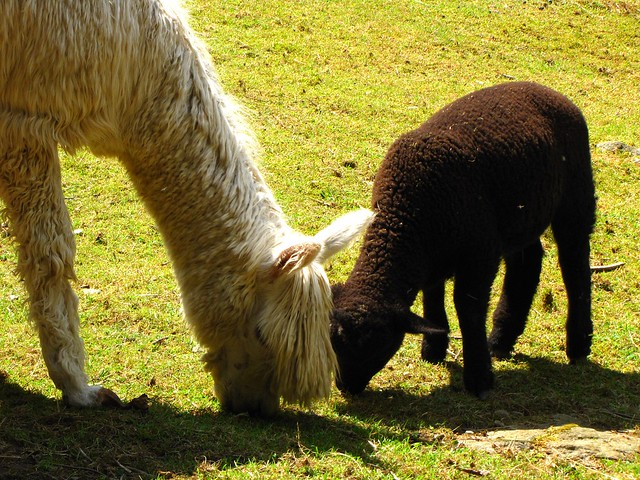 A Llama Grazing Together with A Black Sheep