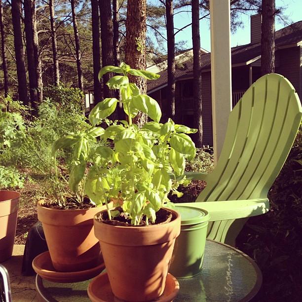 Patio Herbs
