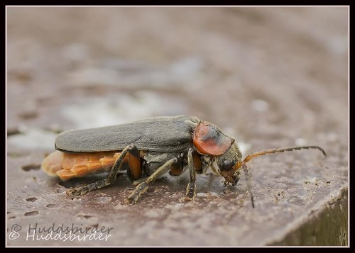 Soldier Beetle - Cantharis nigricans