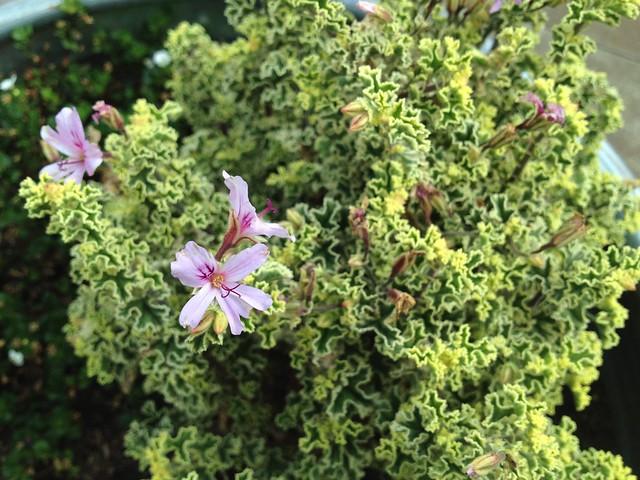 Scented 'Lady Plymouth' geranium flower (Pelargonium graveolens, Geraniaceae)