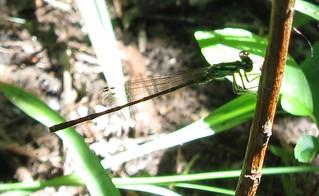 Bluet (Enallagma sp.), female, Gardner Marsh, UW Arboretum