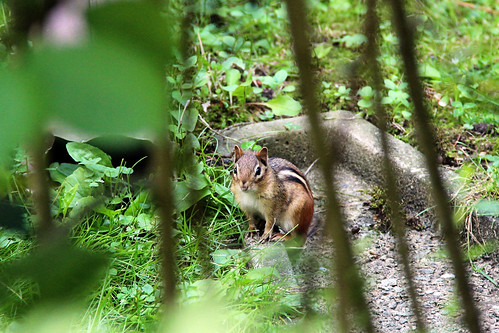 Chipmunk Stealth