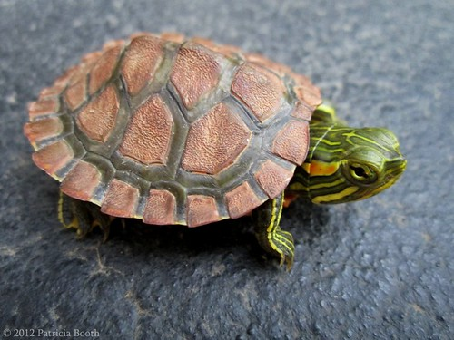 Day 146 Little Turtle by pixygiggles