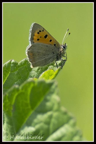 Small Copper