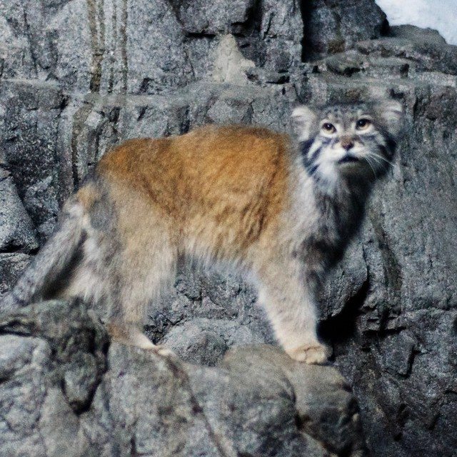 Pallas Cat on the Rocks