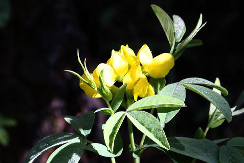 Mountain Goldenbean (Thermopsis montana)