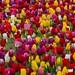 Tulipfest - Woodburn Oregon