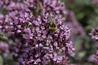 Purple Oregano