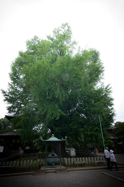 #8 The Giant Ginkgo of Banna Temple