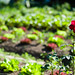Gemüsegarten mit Rose