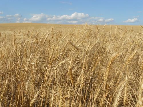 ND wheat