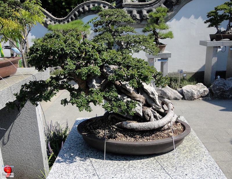 Bonsaï & Penjing - Chinese elm on Ying Tak stone - Ulmus parvifolia - Ulmaceae - Donated by Wu Yee Sun of Hong Kong - 45 years old SC20120826 271
