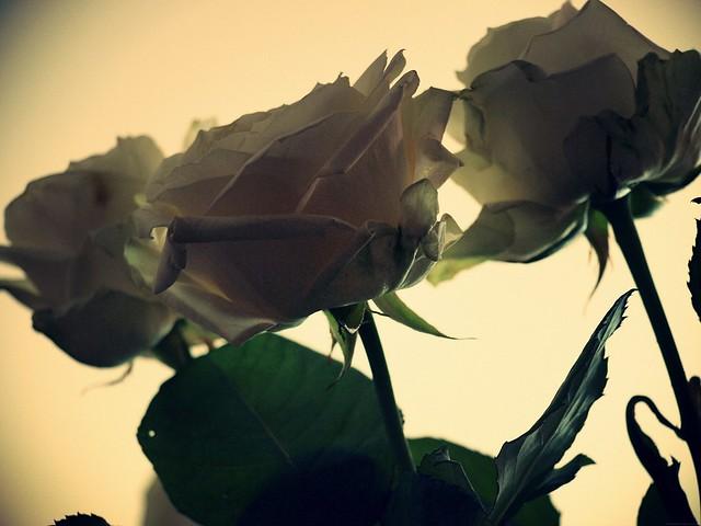 chocoshoot_rosesvontpar3