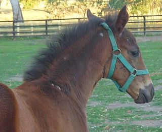 Foal with lice.