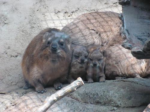 hyrax - squished babies!