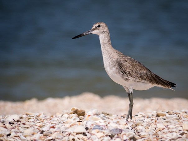 Willet on the beach