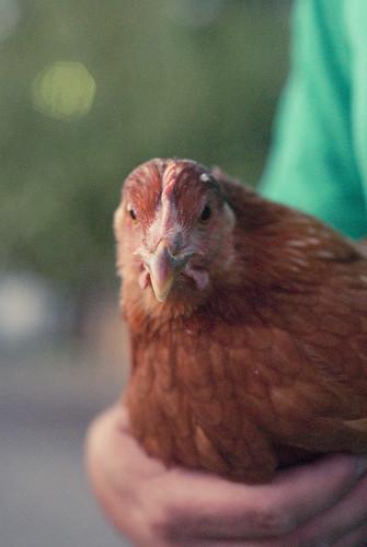 chickenherding-23