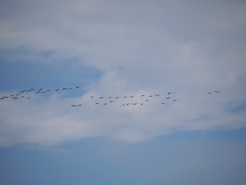 Geese and brief blue