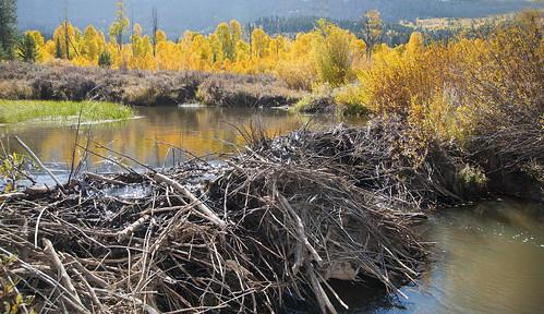 Beaver dam in autumn, Utah