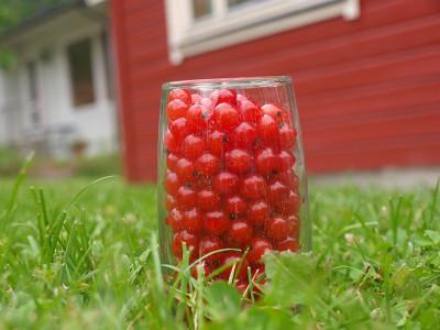 ripsbærsland
