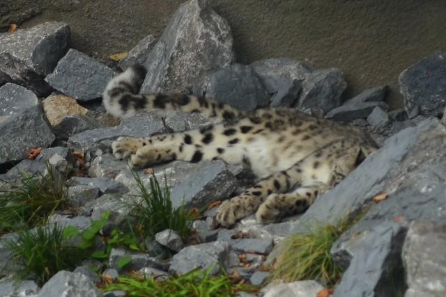 Dozing Snow Leopard