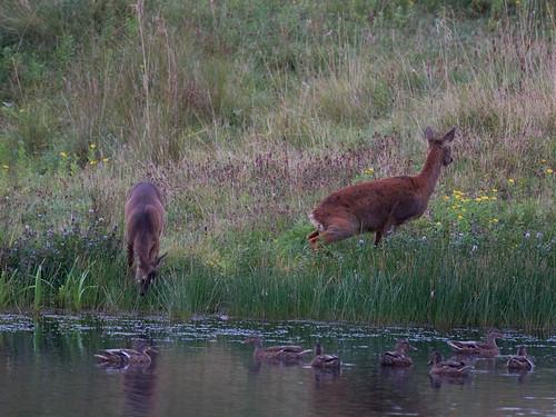Roe deer-scent marking