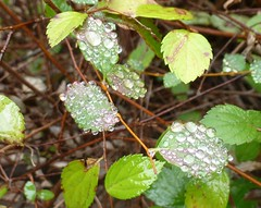 Raindrops on leaflets