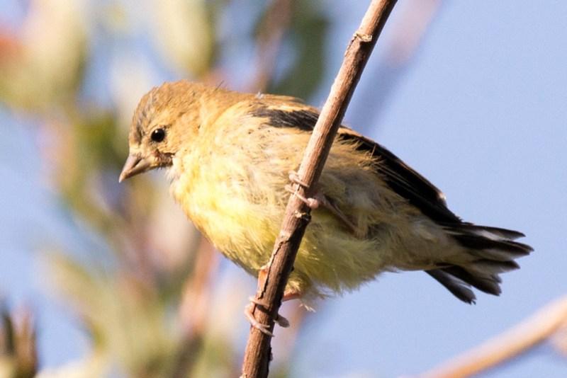 _DSC3526 American Goldfinch