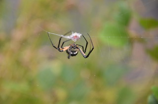 Writing Spider Meal