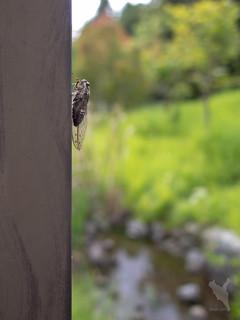 蝉。ツクツクボウシ?