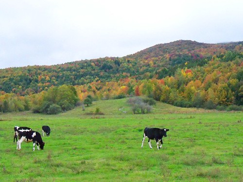 frisky cows