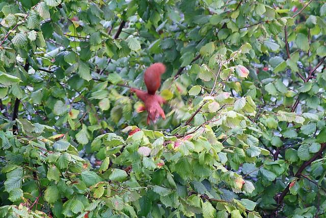 Eichhörnchen_IV