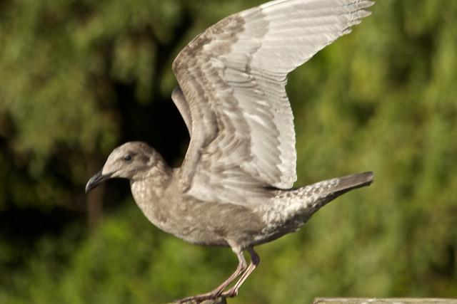 seagull12_ 19