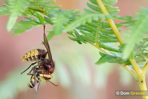 Hornet predating solitary wasp
