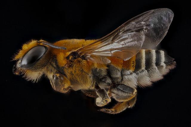 Megachile lanata, female, side_2012-06-26-16.47.02 ZS PMax