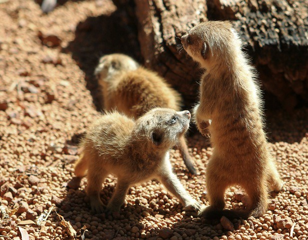 three tiny fuzzy meerkat kits in a red-gravel enclosure. One is standing up straight on its little hind legs.