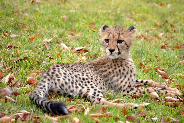 Cheetah in Autum