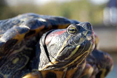 Pairi Daiza, roodwangschildpad