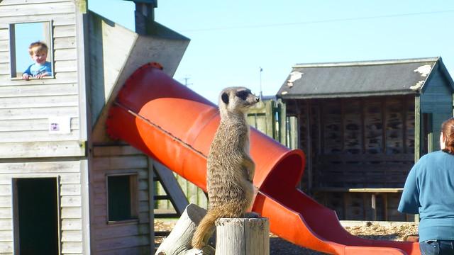 Borth Animalarium, Meerkat