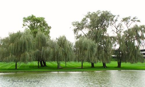 Trees across the Lake