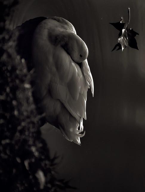 Nosferatuswan - Copyright 2013 Fulvio Petri