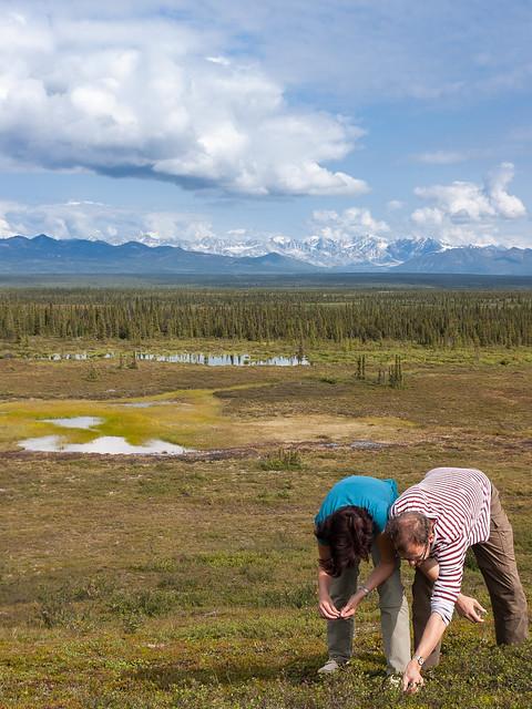Heidelbeeren sammeln vor der Alaska Range