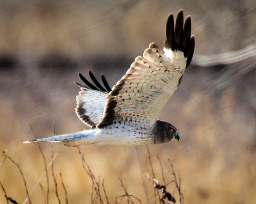 Male Northern Harrier Hawk (2)
