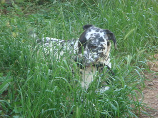 Archie, rescued from Save The Dalmatians, adopted, rescured