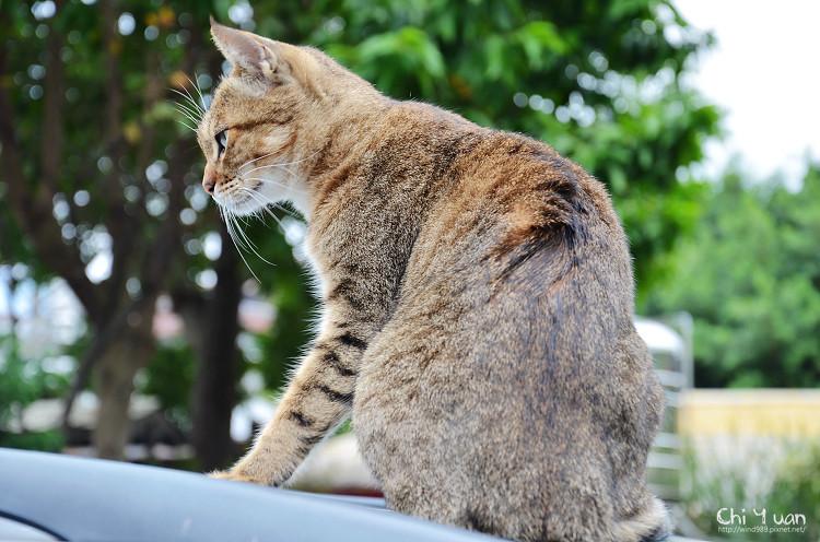 台北淡水貓散步(連拍)14.jpg