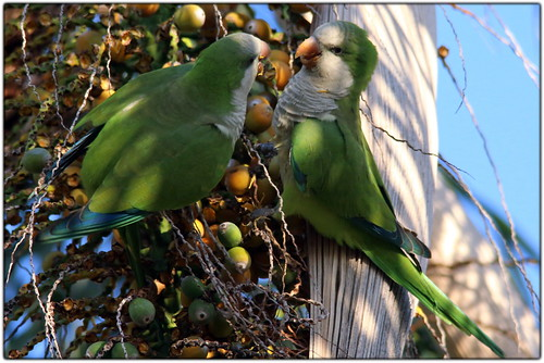 Wild Quaker Parrots enjoying some Palm berries