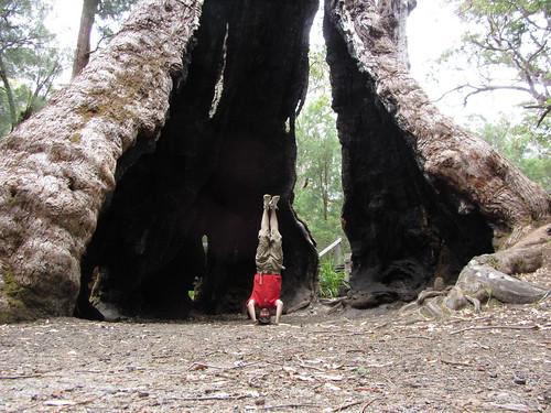 6. giant tingle tree  headstand