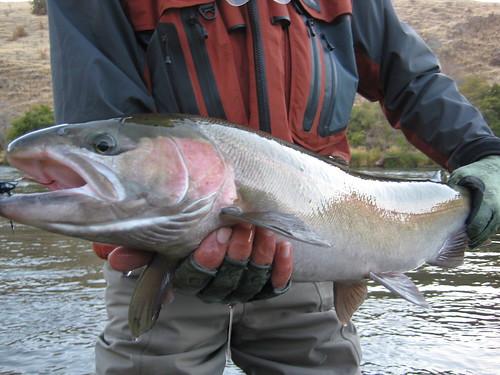Wild Deschutes River Buck Steelhead
