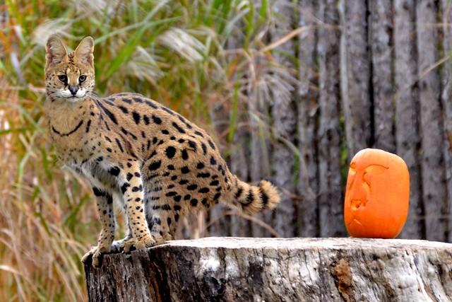 Cleo & the Pumpkin